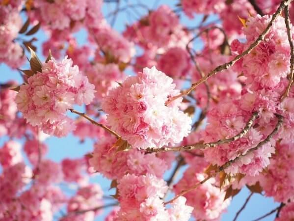Cherry Blossom Season In Japanese Culture