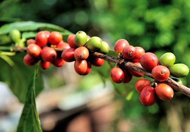 Coffee Plant For A Premium Quality Coffee