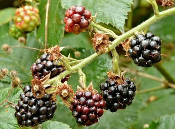 Growing Berries With Container Gardening
