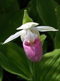 State Flower Of Minnesota