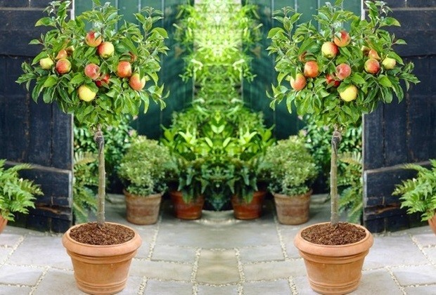 Miniature Fruit Trees Allow To Grow Your Own Fruit In A Small Backyard