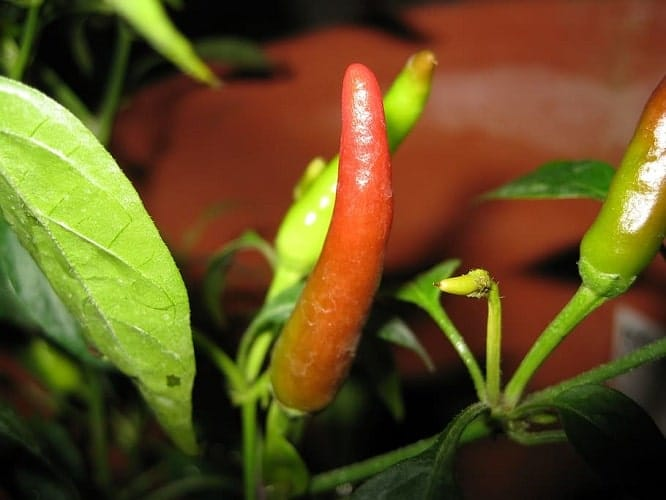 How to Growing Peppers Indoors