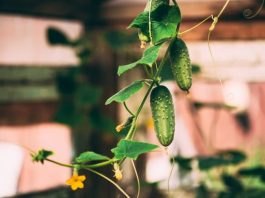 How to Grow Cucumbers Indoors in Containers?