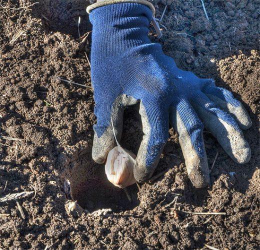 Planting the Clove