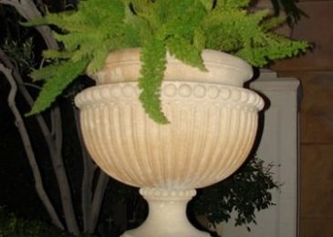 Growing The Foxtail Fern Indoors