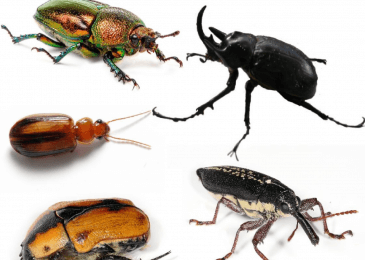 All About Some Species of Beetles Insects