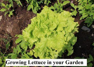 Growing Lettuce In Your Garden