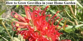How to Grow Grevillea in your Home Garden