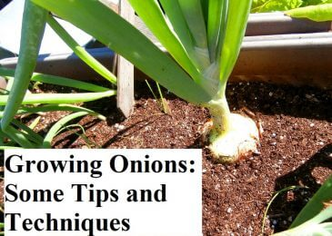 Growing Onions: Some Tips