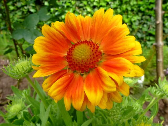 All About Helenium Flowers