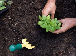 Basil Growing Guideat Home Garden