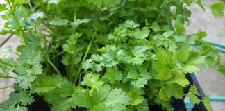 Cilantro Growing Guide in your Home Garden