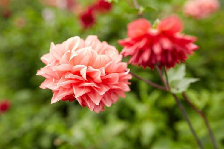 Dahlia Flowers Growing Guide