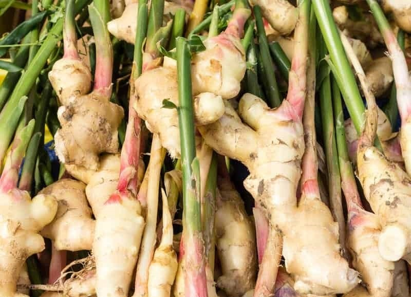 Edible Ginger Only a Few of Species