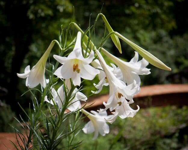 Formosan lily - Tame this beauty before adding to the landscape