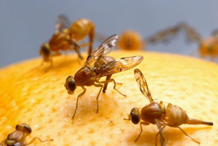 Fruit Flies Defense