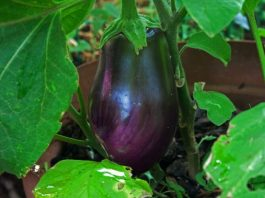 Growing Eggplant in your Garden