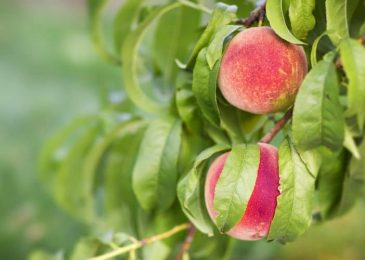How to Grow Peach Tree in your Garden