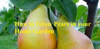 How to Grow Pears in your Home Garden