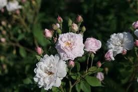 Noisette Rose
