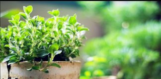 Oregano Growing Guide in your Home Garden