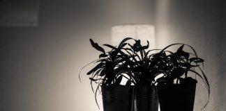 Top Black Plants in Your House Garden