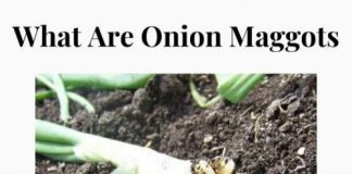 What Are Onion Maggots