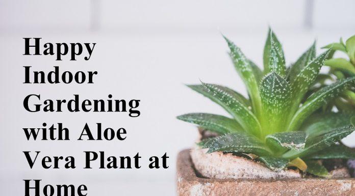 Happy Indoor Gardening with Aloe Vera Plant at Home