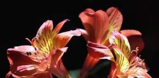 Alstroemeria, Best Choice for your Home Garden