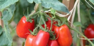 How to Grow Roma Tomatoes (in a Pot)