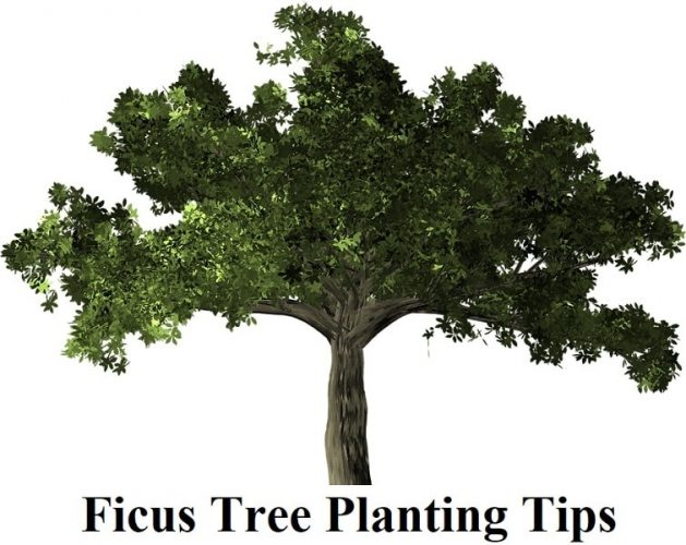 Ficus Tree Planting Tips