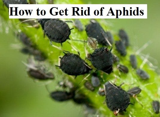 How to Get Rid of Aphids