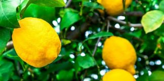 Lemon Tree Planting Tips and Tricks