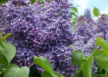 Lilac Cultivars
