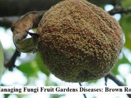 Managing Fungi Fruit Gardens Diseases: Brown Rot