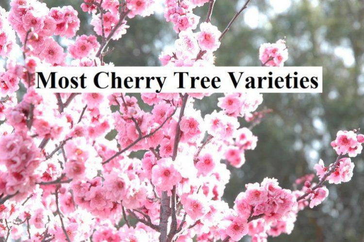Most Cherry Tree Varieties