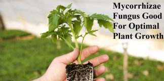 Mycorrhizae Fungus Good For Optimal Plant Growth
