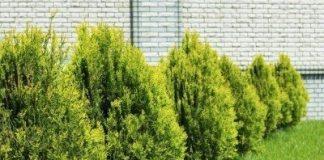 Planting Cypress Trees