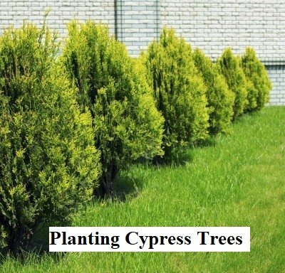 Planting Cypress Trees