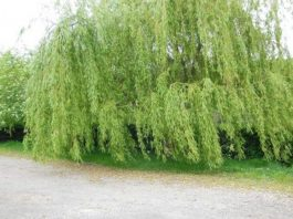 Planting Willow Tree in your Home Garden