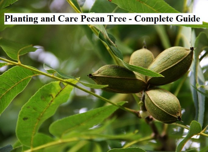 Planting, Growing and Caring of Pecan Tree