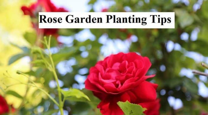 Rose Garden Planting Tips