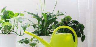 Watering The Houseplants-Good Practices