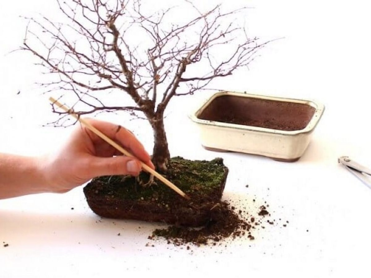 Why Bonsai Soil Is Different Gardens Nursery