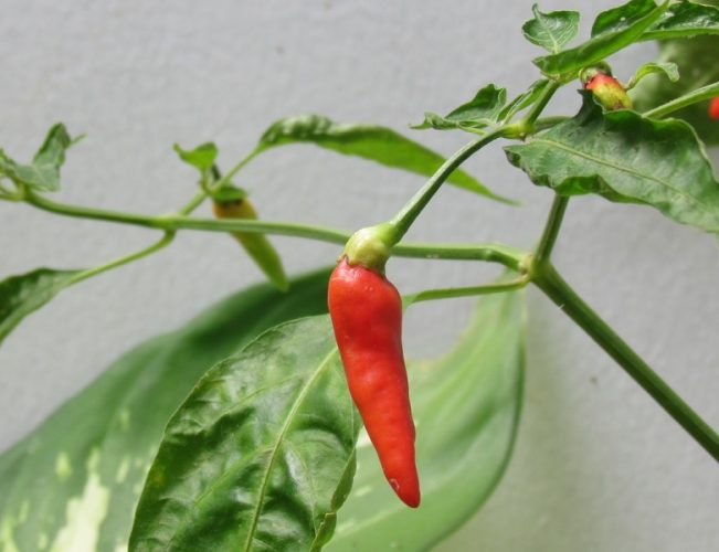First Home Grown Cayenne Pepper