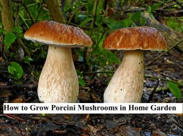 How to Grow Porcini Mushrooms in Home Garden
