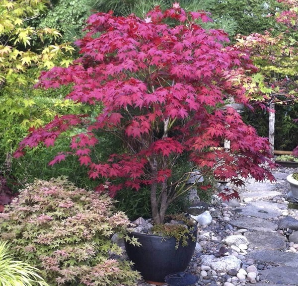 Japanese Maple - Complete Growing and Caring Guide