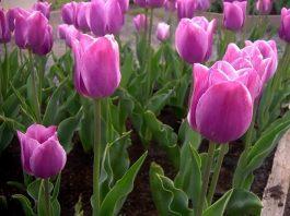 Useful Tips for Growing Real Tulips