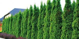 Top 07 Benefits to Planting Evergreen Trees in BackYard