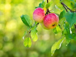Fall is Planting Time for Fruit Trees